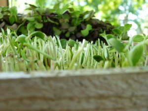 Sunflower sprouts freshly clipped. Notice the water droplets.